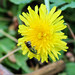 Dandelion with metallic green Sweat Bee