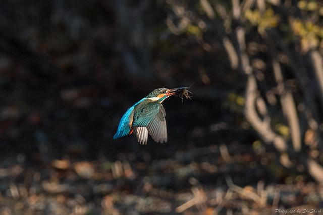 20180211-kingfisher-DSC_8098