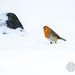 Robin in the Snow by MacLeanPhotographic