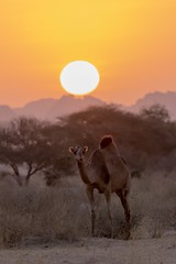 Young camel at sunset, Ennedi, Chad