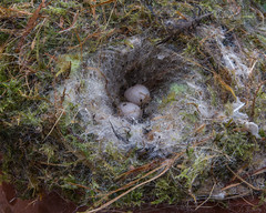 Bluetit Nest