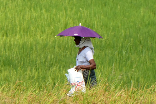 India - Alleppey - Boat Trip - woman walking through the rice fields