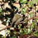 Eurasian Blackcap ---- Sylvia atricapilla