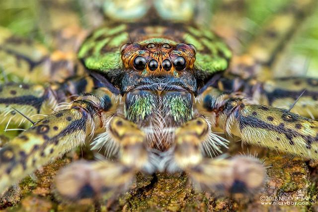Lichen huntsman spider (Pandercetes sp.) - DSC_7732
