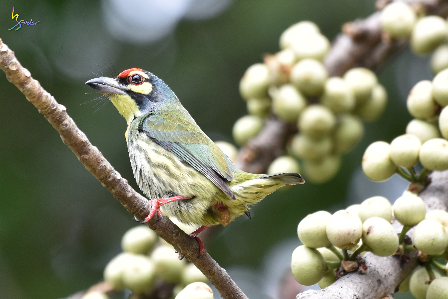 Coppersmith_Barbet_2008