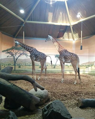 Giraffe (5) #toronto #torontozoo #mammal #giraffe #latergram