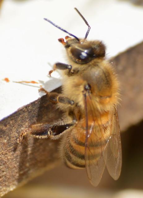 biting bee, Nikon D3200, Sigma 70-300mm F4-5.6 APO DG Macro HSM