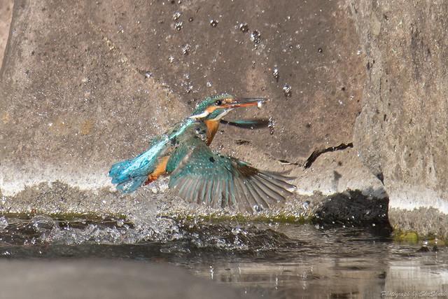 20180211-kingfisher-DSC_8370