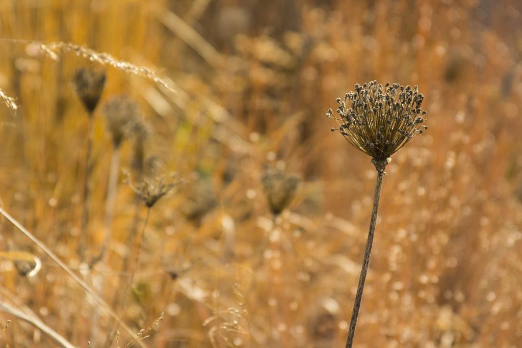 sunny allium seedhead