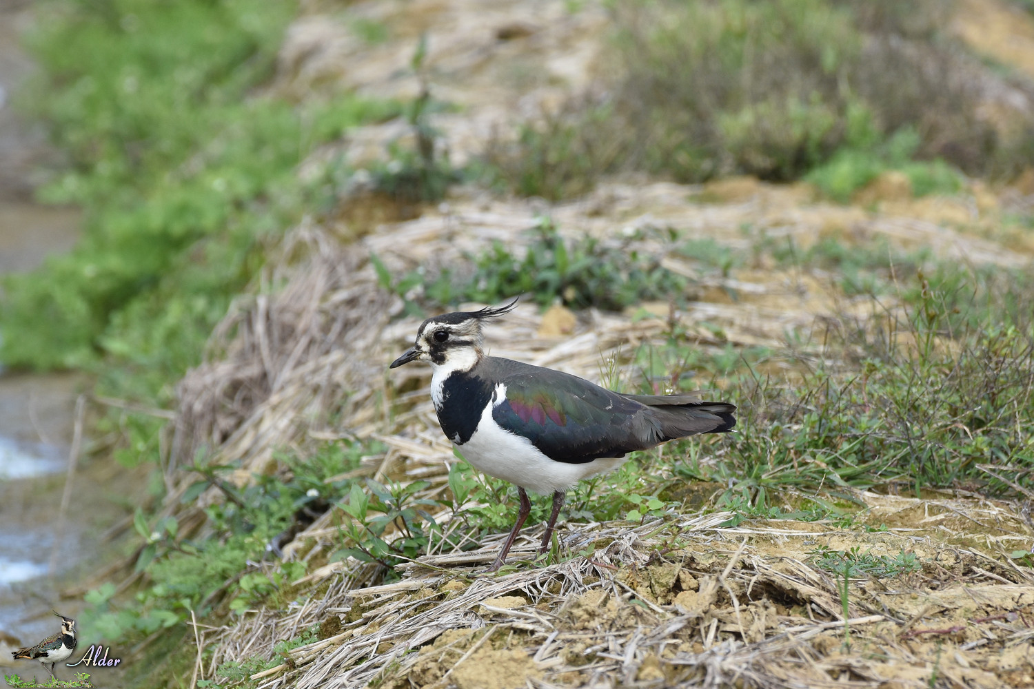 Northern_Lapwing_7625