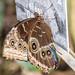 Blue Morpho Butterfly RHS Wisley 08 February 2018 (35)