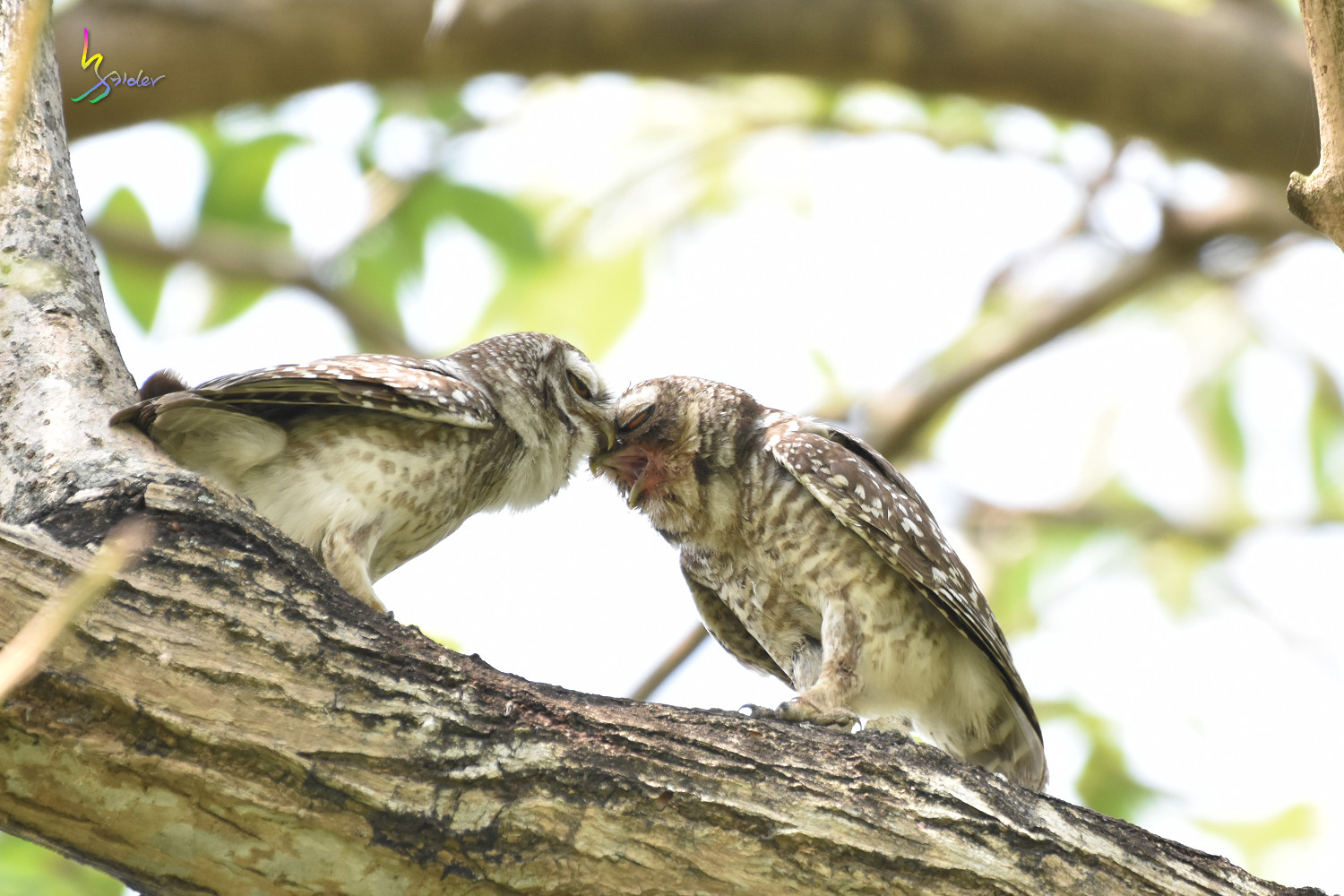 Spotted_Owlet_0385