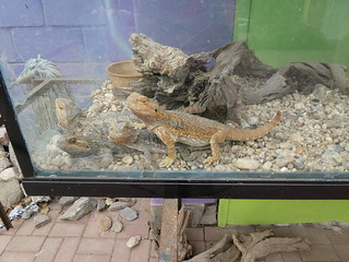 20180109 Bearded Dragons 12.23.25