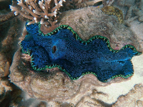 Giant Clam on the Great Barrier Reef. From How to explore Australia independently - and on a budget