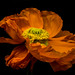Orange papaver - Day 2 by Magda Banach