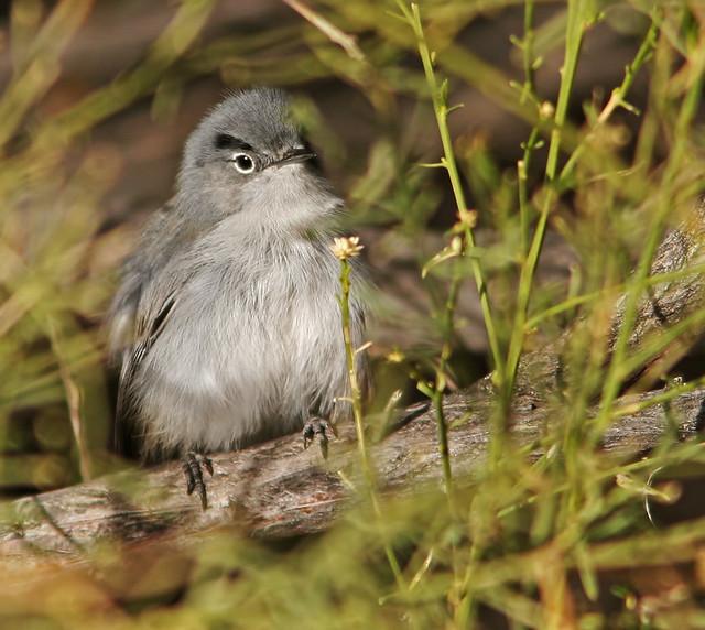 Black-tailed-Gnatcatcher-12-29-2007-20D_9858