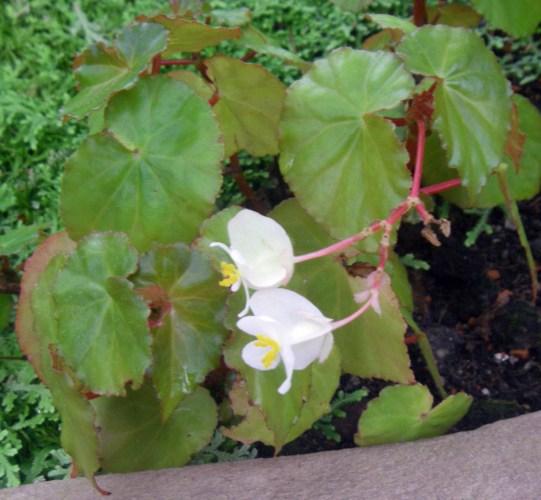 Begonia wrightiana 39596226425_bd5b4f9c06_o