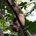 Phalangeridae: Spilocuscus papuensis (Waigeo Cuscus) 5