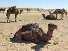 Douz Camels