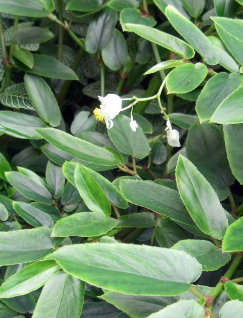 Begonia echinosepala 39668516402_8c42090163_o