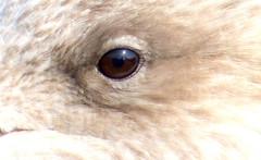 Gull eye