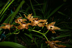 Cymbidium iridioides species orchid 1-18