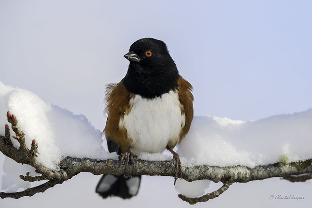Waist-deep in snow- Spotted Towhee Style