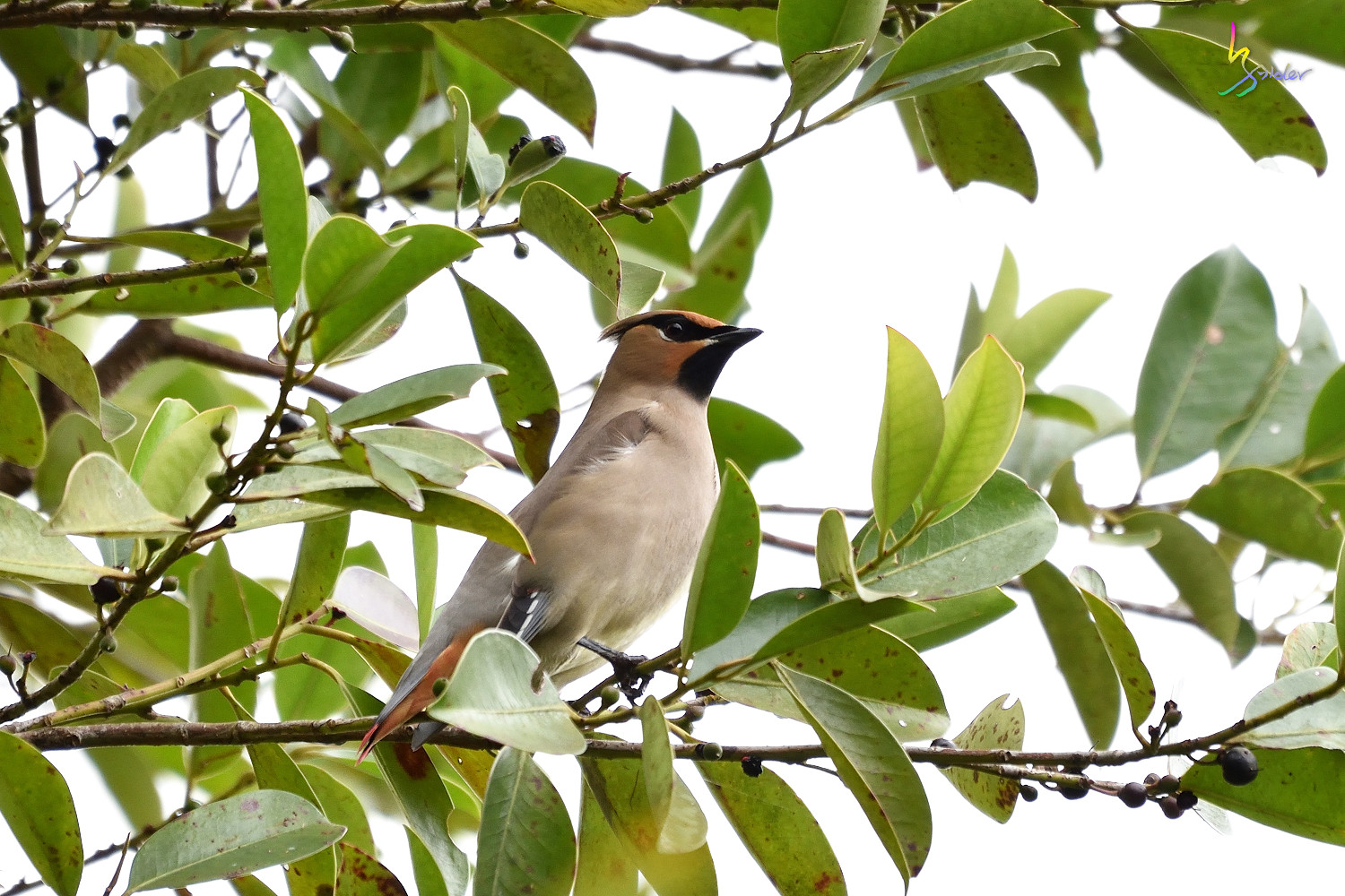 Japanese_Waxwing_7506