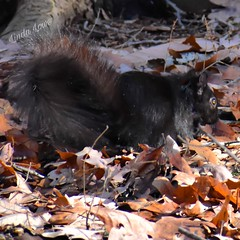 Black squirrel - Penitentiary Glen