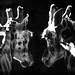 Rothschild's Giraffes in mono