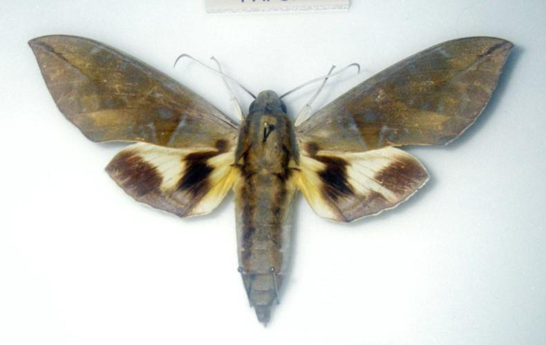 Eumorpha phorbas 40372653152_724a756d68_o