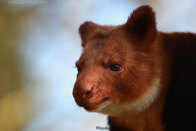 Goodfellow's tree-kangaroo - Goodfellow-Baumkänguru (in explore 23.02.2018)