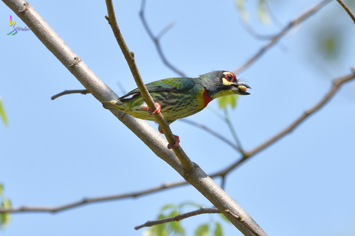 Coppersmith_Barbet_7535