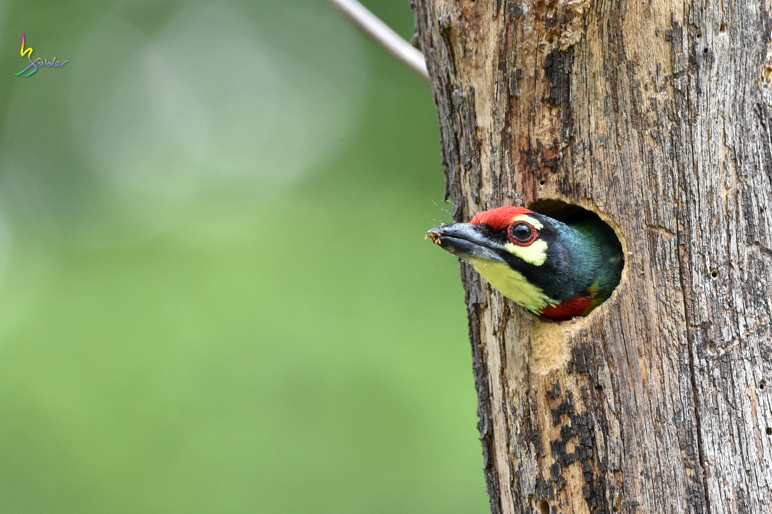 Coppersmith_Barbet_8343