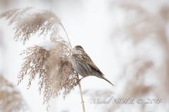 Bruant des roseaux - Emberiza schoeniclus - Common Reed Bunting : Michel NOËL © 2018-2645.jpg