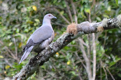 Ring Tailed Pigeon 3