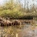 Frozen pond... frosty reeds