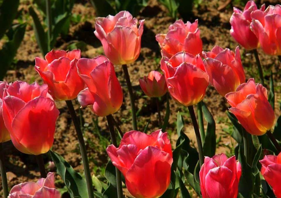 Pretty pink tulips are srinagar tulip festival