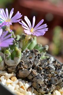 DSC_6526 Conophytum karamoepense コノフィツム カラモエペンセ