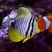 Red Sea Sailfin Tang with a Nemo / True Percula Clownfish by Ryan.Kartzke
