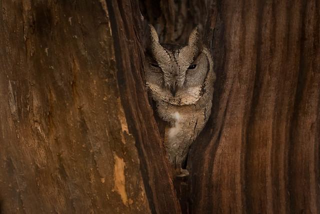 Indian Scops-Owl | Otus bakkamoena | उल्लू