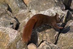 Esquiròl - Ecureuil roux - Sciurus vulgaris