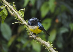 Buff-breasted Mountain-tanager (Dubusia taeniata)