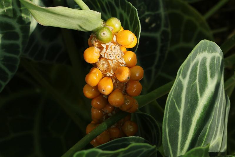Anthurium magnificum  ビロードウチワ(実)
