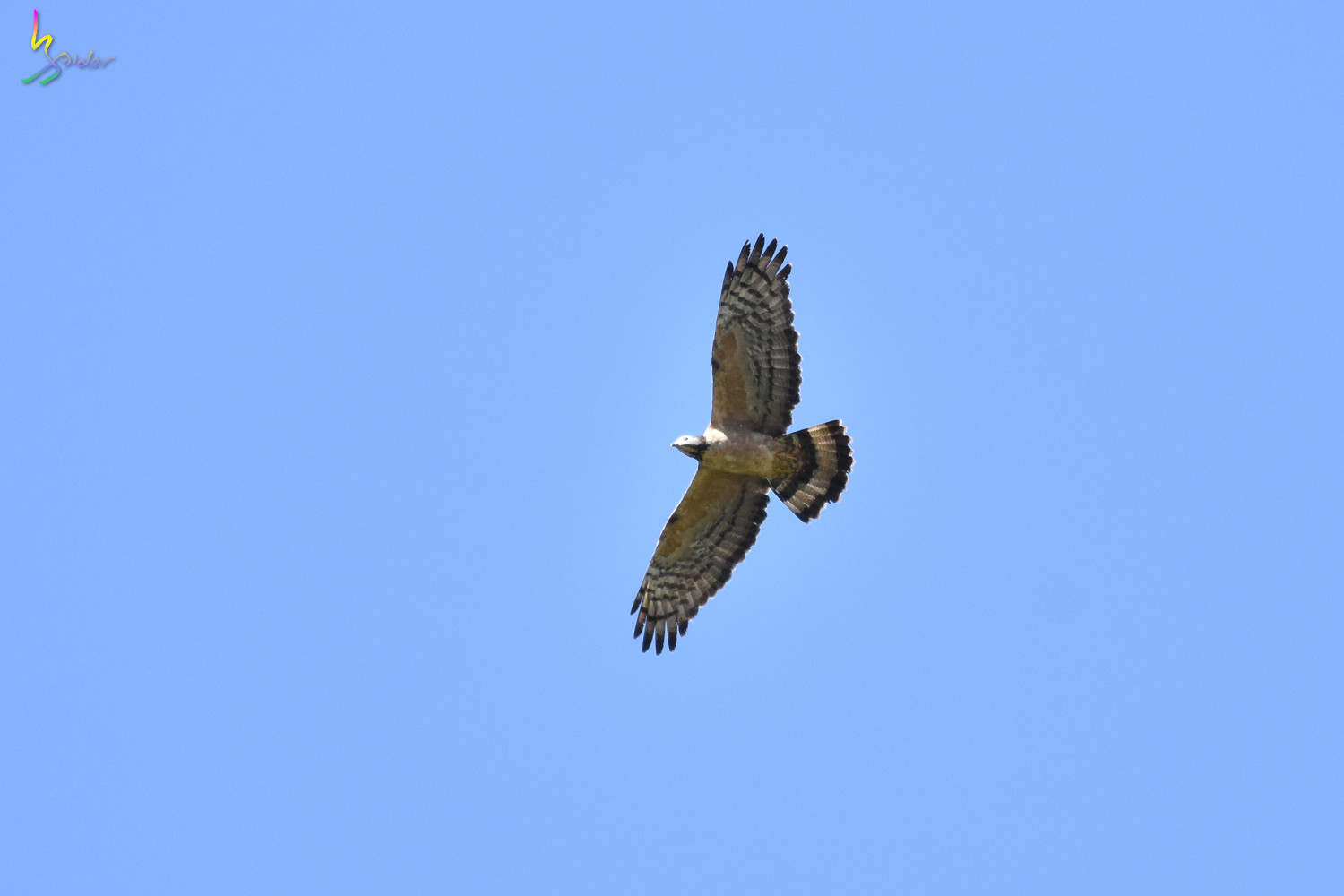 Honey_Buzzard_6523