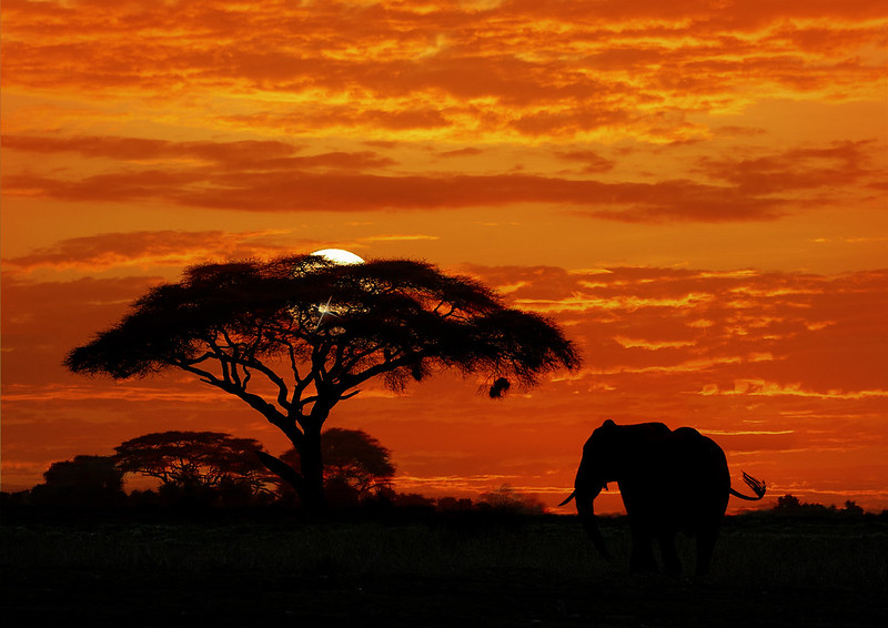 Bull elephant at sunset