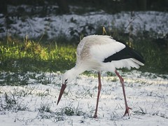 2018:02:14 14:38:06 - Storch im Schnee