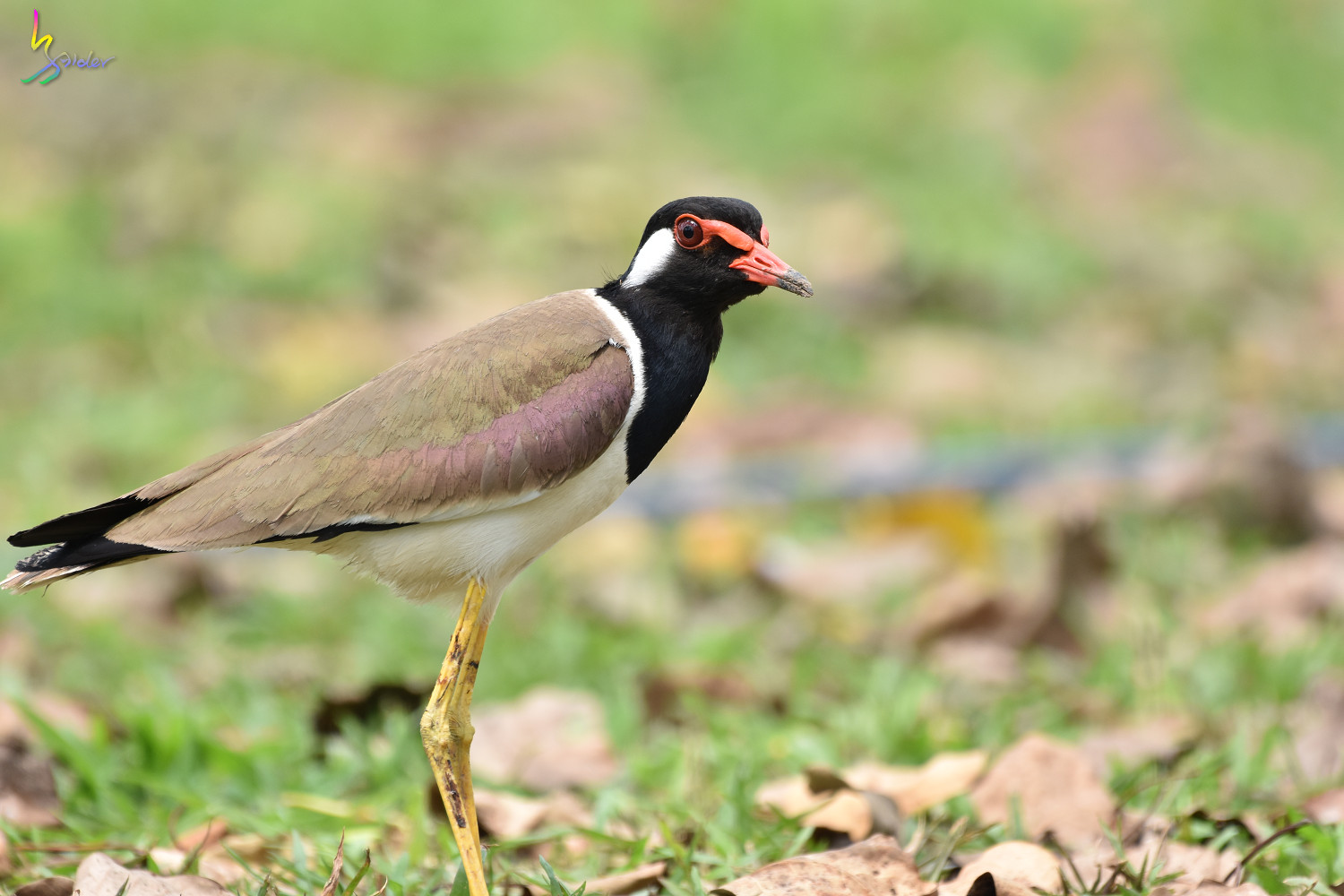 Red-wattled_Lapwing_1520