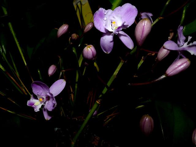 Artorima erubescens species orchid, acquired 2-12, 1st bloom  1-18