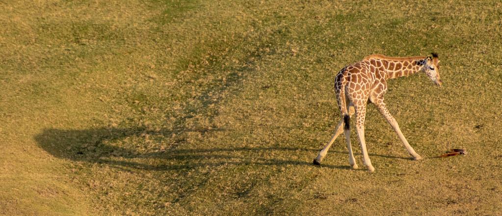 Giraffe_20